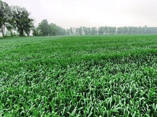 Агроэкспедиция. Пшеница в Василькове